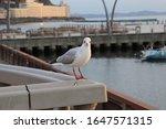 White Dove Posing For The Camera