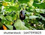 Aubergine Eggplant Plants In...