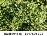 Osmanthus Heterophyllus ...