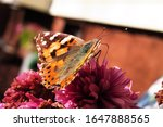 A Painted Lady Butterfly...