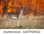 Side View Of A Wild Fallow Deer ...