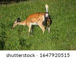Small photo of Pregnant fallow deer, dama dama, doe giving birth to wet fawn in green summer nature. Brown spotted mammal on a meadow with grass pushing out young little fawn.