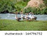 geese walking near water | Shutterstock . vector #164796752