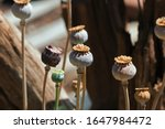 Sunlight On Dry Seed Pods Of...