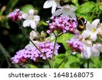 A Buff Tailed Bee Working Its...