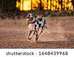 Active Healthy Great Dane Dog...