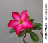 Pink Calachuchi In Perfect Bloom