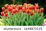 Beautiful Tulips Flower In...