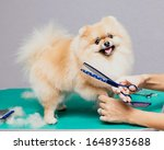Happy Cute Pomeranian Dog...