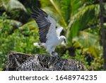 White Bellied Sea Eagle ...