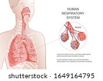 human respiratory system  lungs ...   Shutterstock .eps vector #1649164795