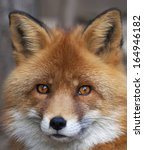 Face Portrait Of Red Fox Male ...