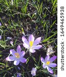 Small photo of Spring crocus (Crocus veruns) among the first Flowers to bloom in spring.