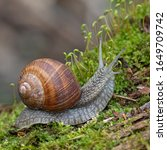Small photo of Helix pomatia, common names of the Roman snail, Burgundy snail, edible snail or escargot, is a species of the Helicidae family. Helix pomatia mollusk in nature.