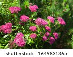Small photo of Nature Background concept. Blooming Japanese spiraea in the summer garden. Spiraea Japonica Genpei (Shirobana) is a plant in the family Rosaceae