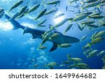 Shark Swimming Among A School...