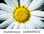 Close Up Of A Daisy Flower With ...