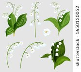 Set Of Isolated Lily Of The...