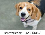 Stock photo portrait cute beagle puppy dog looking up 165013382