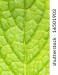 abstract of a fresh green mint leaf - stock photo