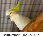 The Citron Crested Cockatoo ...