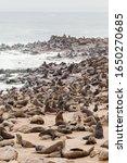 Loads Of Cape Fur Seals At Cap...