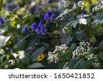 Bluish Purple Monkshood...
