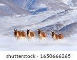 Kiang  equus kiang  largest of...