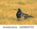 Small photo of The rook (Corvus frugilegus) is a member of the family Corvidae in the passerine order of birds. Eurasian rook on grass. Big black bird living in cities one close up