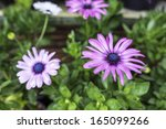 a bed of purple osteospermum... | Shutterstock . vector #165099266