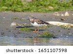 Turnstone Birds On A Shore...