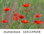 red poppies flowers in grass on ... | Shutterstock . vector #1651149658