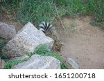 Ringtail Cat Digs For Beetles