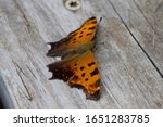 Question Mark Butterfly Orange...