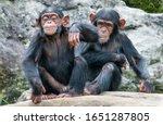 Two Playful Baby Chimpanzees...