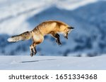 Fox Jumping To Hunt For Mouse...
