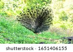 Mail Peacock Outstretched Tail...