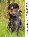 gundog - german wirehaired pointer holds a downed wildfowl (hen grouse) in its teeth during hunting