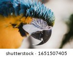 Blue And Gold Macaw Parrot...