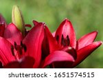 Three Red Blooming Lilies In...