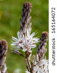 Small photo of Asphodelus ramosus, also known as branched asphodel, is a perennial herb in the Asparagales order.