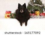nice groenendeal ten years old... | Shutterstock . vector #165177092