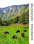 Small photo of Black sheep grazing on the green meadow. Flam, Norway. Vertical view