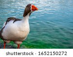 Goose Looking Curiously At The...