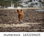 Poodle Dog Running On The Beach