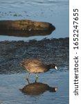 "Small photo of Bird on a Estuary, ""Los Cabos"" Mexico"