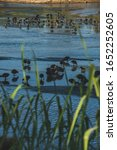 Small photo of Birds on a Estuary seen from behind the grass
