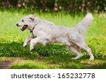 Stock photo golden retriever running on the meadow 165232778