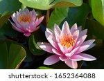A Beautiful Pink Fresh Lotus...