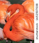 Red Flamingo  Phoenicopterus...